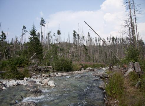 Короед типограф: поврежденные деревья