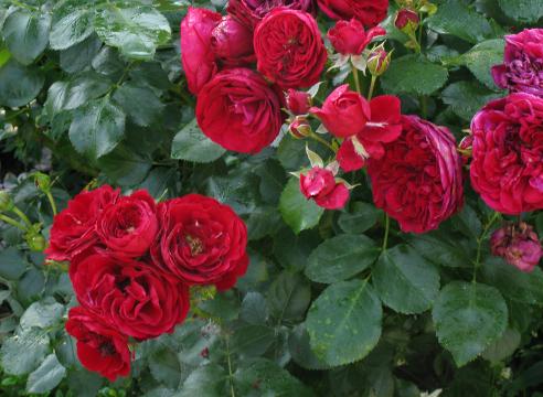 Роза Rotkappchen, вылеченная от ржавчины