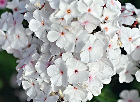 Белые флоксы лучшие сорта: посадка и уход