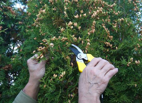 Туя: выращивание посевом семян, сбор шишек