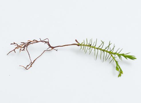 Туя: выращивание посевом семян, сеянец с ювенильной хвоей