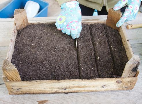 Туя: выращивание посевом семян, нарезание бороздок для посева