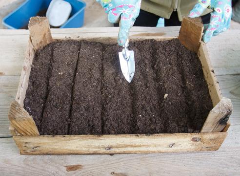 Туя: выращивание посевом семян, подготовка к посеву
