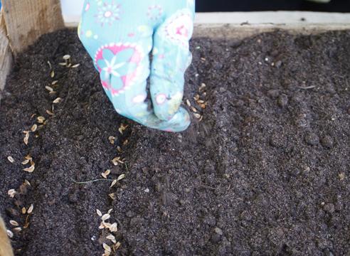 Туя: выращивание посевом семян, зсыпаем семена почвой