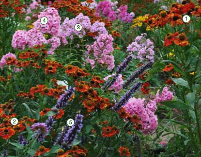 Гелениум: фото цветников