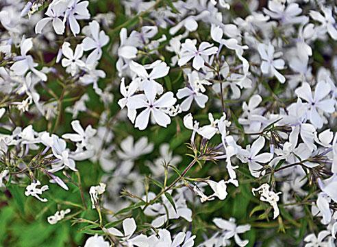 Флокс растопыренный White Perfume