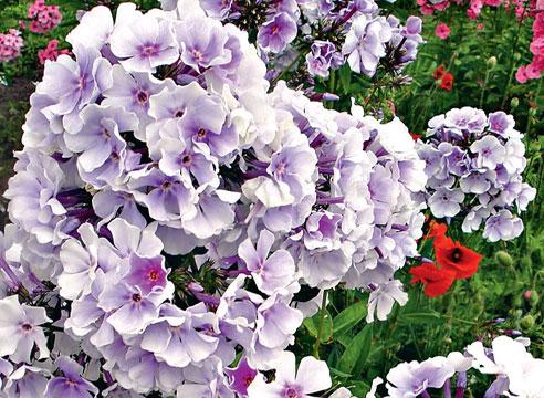 Флокс Lavendelwolke