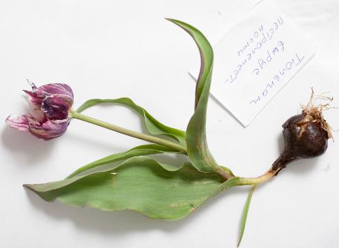 Пестролепестность тюльпана