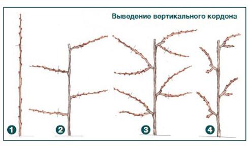 Вертикальный кордон винограда