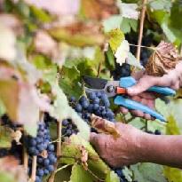 борная кислота; виноград