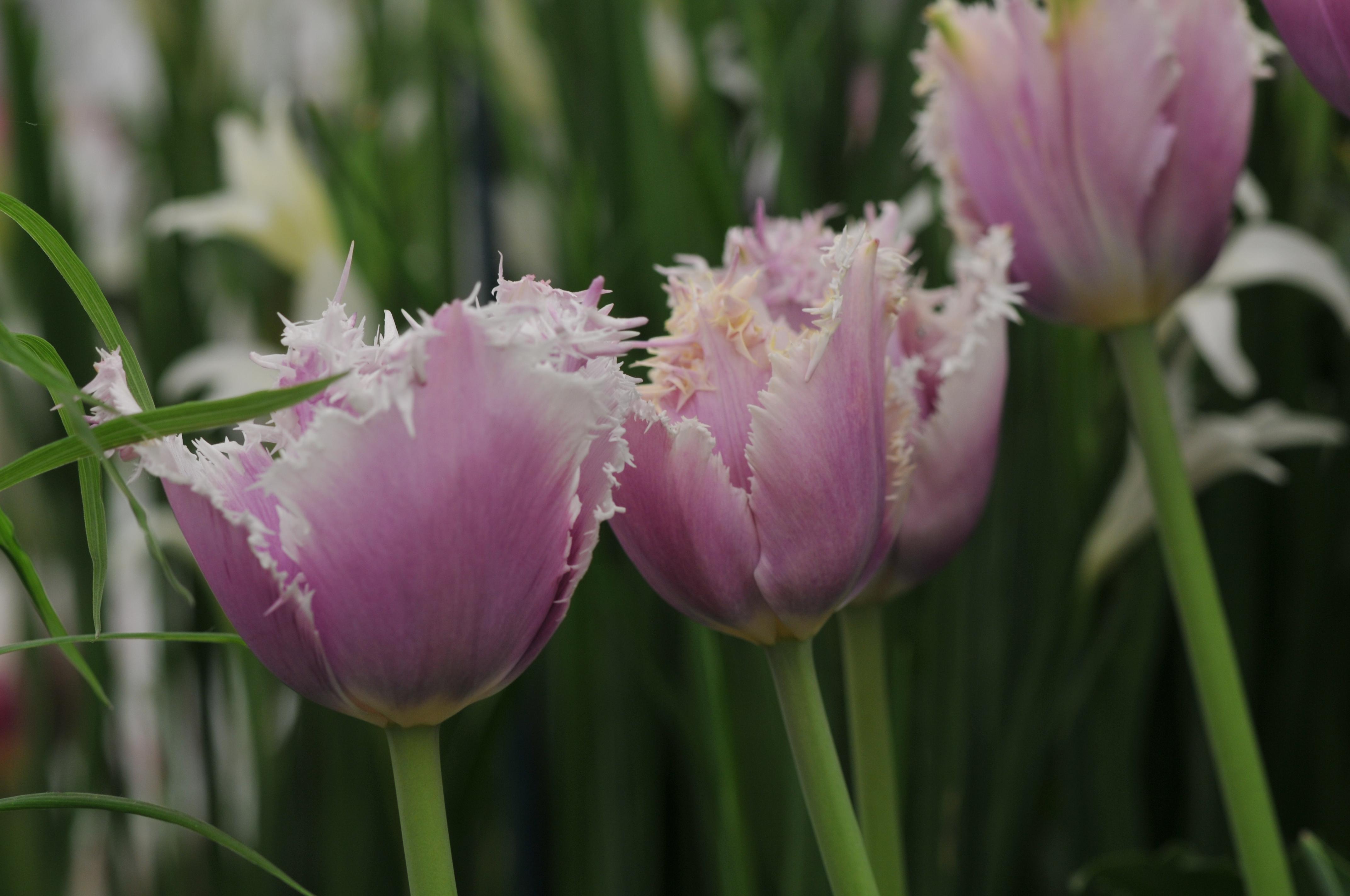 Бахромчатый тюльпан Cummins