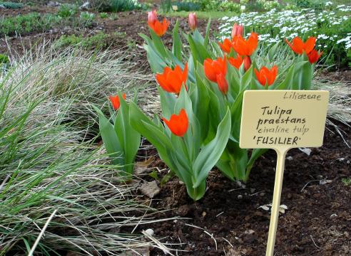 Тюльпан превосходящий (Тulipa praestans)