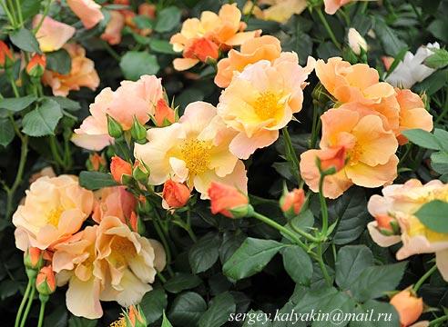 Роза Simple Gold