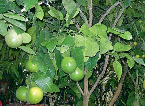выращивание апельсина в домашних условиях, как получить урожай апельсинов  в квартире, Апельсин сорт Hamlin