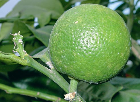 выращивание апельсина в домашних условиях, как получить урожай апельсинов  в квартире, апельсин сорт Washington Navel