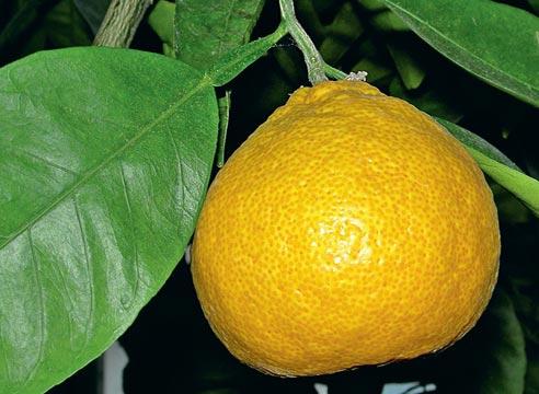 выращивание апельсина в домашних условиях, как получить урожай апельсинов  в квартире, Апельсин сорт Королек грушевидный