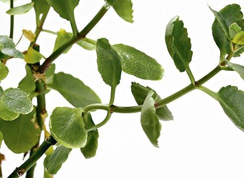 каланхоэ, проблемы выращивания каланхоэ, почему не цветет каланхоэ