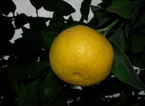 выращивание апельсина в домашних условиях, как получить урожай апельсинов  в квартире, Апельсин сорт Королек