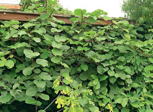 Как выращивать киви в домашних условиях