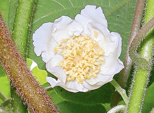 Киви в открытом грунте, мужской цветок киви