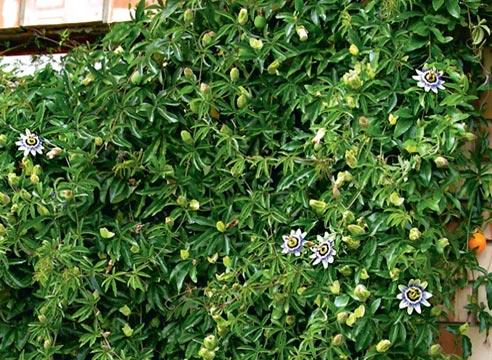 пассифилора урожай в домашних условиях, Пассифлора голубая в зимнем саду