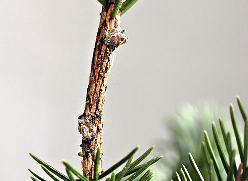 Прививка хвойных растений, как привить хвойные растения вприклад, зачищенный подвой