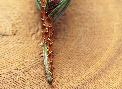 Прививка хвойных растений, как привить хвойные растения вприклад, срез на привое