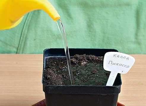 каллы выращивание, посадка клубня каллы