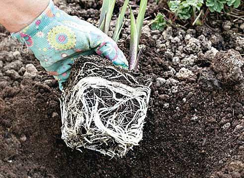 выращивание каллы, посадка  каллы