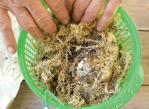 выращивание каллы, Хранение каллы