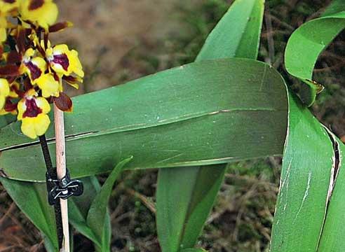 Болезни и вредители орхидей, трещина вдоль срединной жилки листа орхидеи