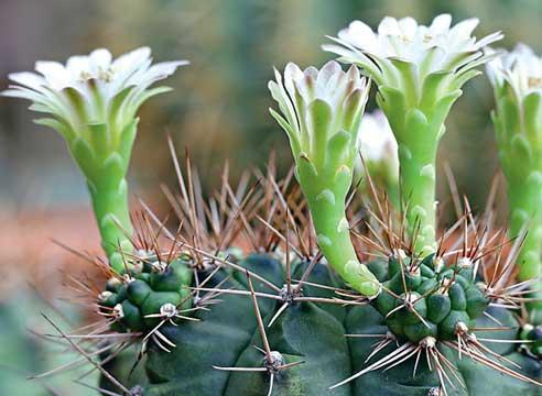 Кактусы уход, кактусы цветение, гимнокалициум, Gymnocalycium