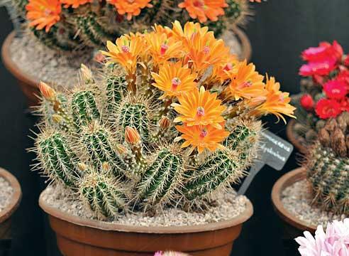 Кактусы уход, кактусы цветение, эхиноцерус, Echinocereus