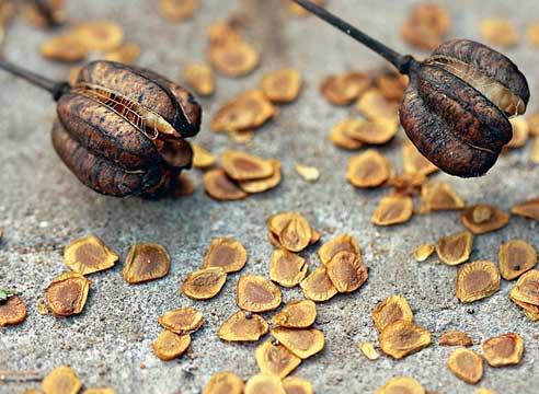 семена почтой, Плоды мартагона растрескались и семена высыпаются. Идеальное состояние для сбора.