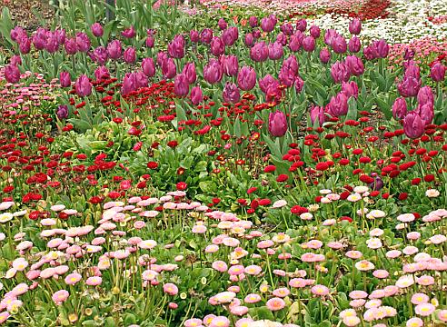 цветочная палитра; цветник с маргаритками