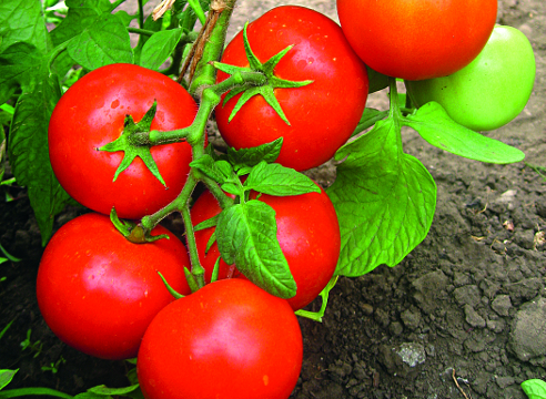 новинки семян овощей; Томат F1 Гайдук, Евро-Семена
