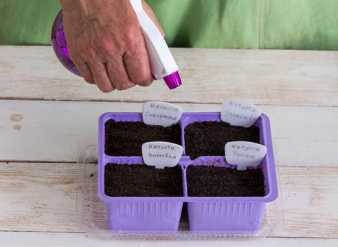 выращивание рассады капусты, полив семян