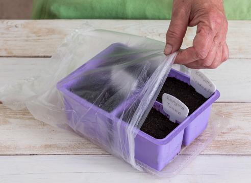 выращивание рассады капусты, укрытие семян