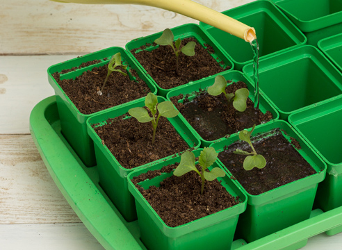 выращивание рассады капусты, полив рассады