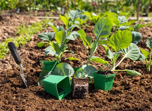 выращивание рассады капусты, как выглядит рассада перед посадкой в грунт
