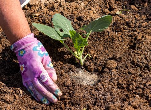 выращивание рассады капусты, посадка капусты