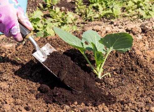 выращивание рассады капусты, мульчирование рассады