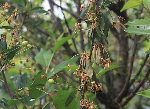 Листья на вишне сохнут