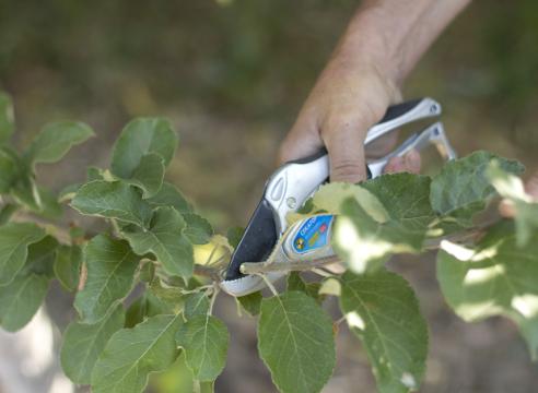 Прививка яблони за кору. Заготовка черенка