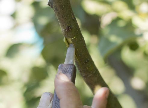 Прививка яблони за кору. Выполнение Т-образного разреза. Раздвигание краев.