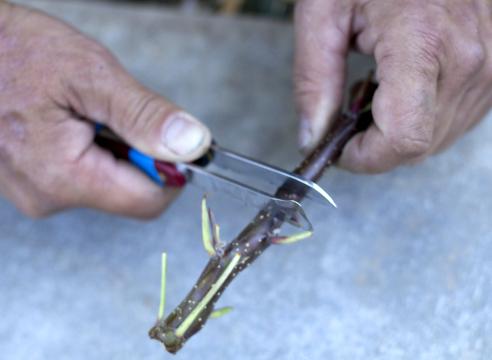 Прививка яблони «дудкой». Заготовка фрагмента коры