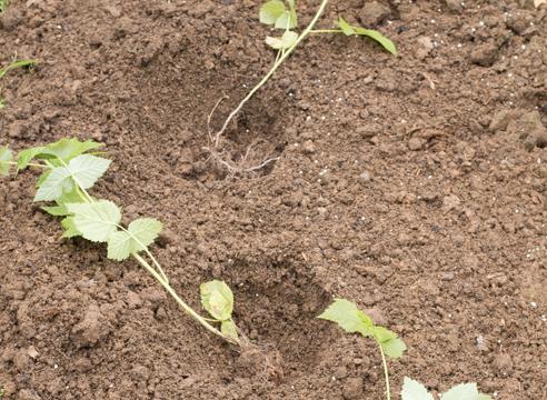 Размножение малины зелеными черенками. Малина – размножение корневыми отпрысками