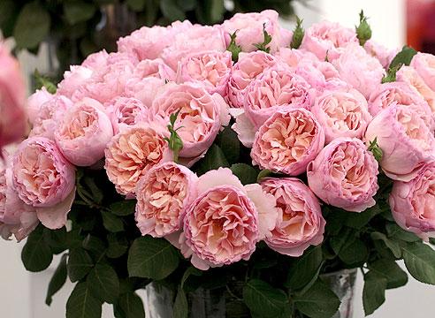 Роза селекции дома Мейян. Принцесса Шарлен