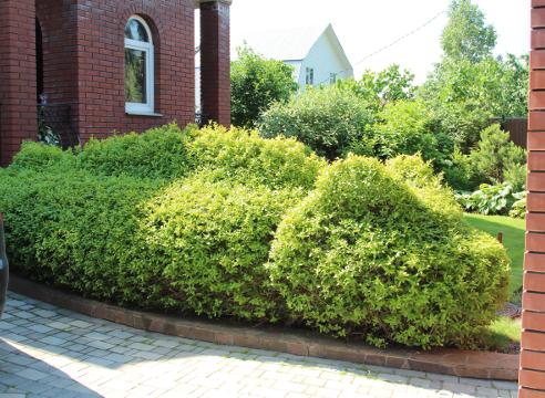 Сад Екатерины Локшиной, живая изгородь, фигурная стрижка, бирючина, Стриженая изгородь в форме дракона