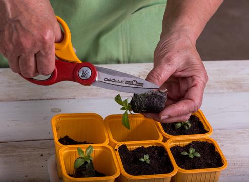 эустома, выращивание рассады, посадка рассады